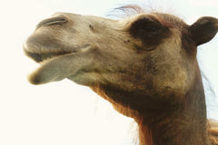 Head of a camel against the sky. Summer time Royalty Free Stock Photography
