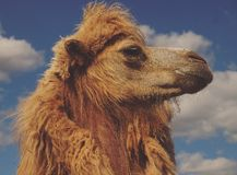 Head of a camel against the sky. Summer time Stock Photography