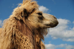 Head of a camel against the sky. Summer time Royalty Free Stock Image