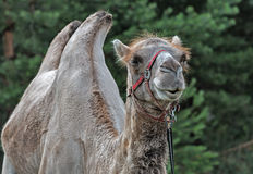 The head of a camel. Stock Image