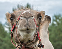 The head of a camel. Royalty Free Stock Photos