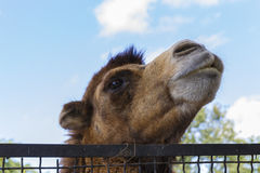 The head of a camel on the bars at the zoo Royalty Free Stock Photos