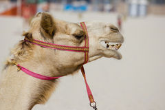 Head of a camel Stock Photos