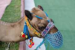Head of a camel with a blue mesh face on the lawn royalty free stock photos