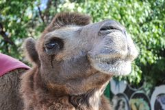 The head of the camel Stock Photography