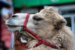 The head of the camel Stock Images
