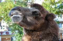 The head of the camel Royalty Free Stock Photography