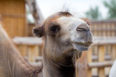 Head of the camel close up Stock Photo