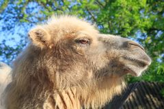 Head of camel close-up in spring.  Royalty Free Stock Images