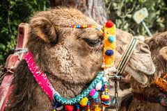 Head of a camel Royalty Free Stock Photo