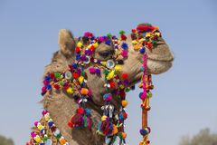 Head of a camel decorated with colorful tassels, necklaces and beads. Desert Festival, Jaisalmer, India. Close up royalty free stock images