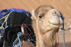 Head of a camel in the desert Stock Image