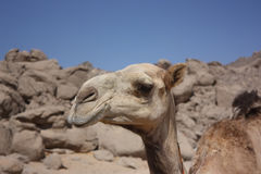 Head of a camel in the desert. Against the blue sky Stock Photography