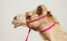 Head of a camel Royalty Free Stock Photos