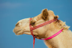 Head of a camel Royalty Free Stock Photography