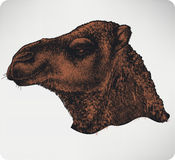 Head of a camel, hand-drawing. Vector illustration. Stock Photos