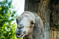 The head of a camel Royalty Free Stock Photos