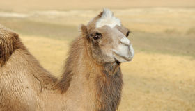 Head of a camel Royalty Free Stock Image