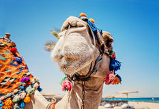 Head of the camel with open eyes, close-up, portrait, Egypt Royalty Free Stock Images