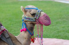 Head of a camel with a pink mesh face on the lawn stock photography