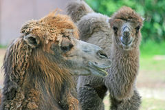 Head of camel in profile. Bactrian's head (camel with 2 humps Stock Photo