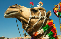 Head of a camel on safari - desert Stock Image