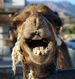 Head of camel Stock Photo