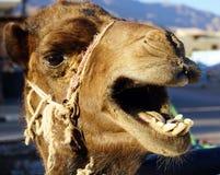 Head of camel Royalty Free Stock Photos