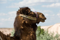 Head of the camel Royalty Free Stock Photos