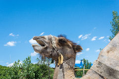 The head of a camel Stock Photo
