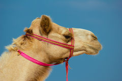 Head of a camel Stock Photo