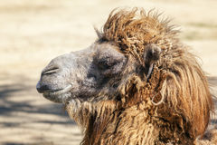 Head of a camel Stock Image