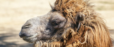 Head of a camel Royalty Free Stock Images