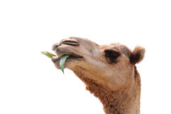 Head of camel. On white background Royalty Free Stock Photography