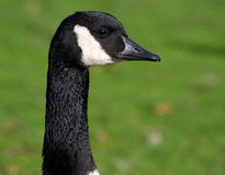 Head of Canada Goose. Stock Photography