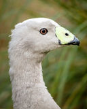 Head of a Cape Barren Goose. Close up of the head of a Grey and black Cape Barren Goose (Cereopsis novaehollandiae Royalty Free Stock Images