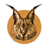 The head of a Caracal Stock Photo