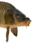 Head carp. Isolated on white background Stock Photography