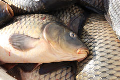 Head of a carp. Royalty Free Stock Photos