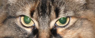 Head of cat. Close up of brown cat Royalty Free Stock Photos