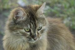 The head of the cat close-up on blurred natural background.  royalty free stock images