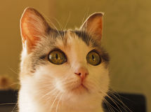 The head of a cat with large curious eyes. Royalty Free Stock Photo