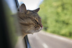 Head Cat  out of a car window  in motion Stock Images