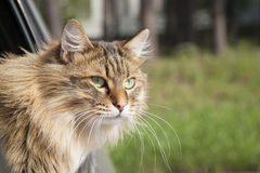 Head Cat  out of a car window  in motion Royalty Free Stock Image