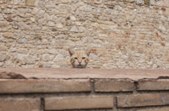 A head of a cat. This picture shows a head of a cat looking straight into the camera. The rest of his body is covered by a brick wall, and there's a brick wall Stock Images