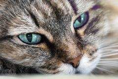 Cat head close-up. Head cat portrait close-up macro with blue eyes resting stock image