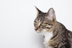 Head of a cat. On the white. Domestic cat isolated on white Stock Photo