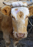 Head of cattle Royalty Free Stock Photography