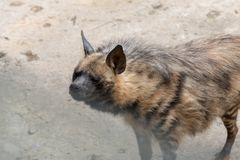 Striped hyaena. The head is 100-120 centimeters long, the shoulder height is 60-80 cm, the tail length is 25-40 centimeters, and the weight is 25-55 kilograms royalty free stock photos