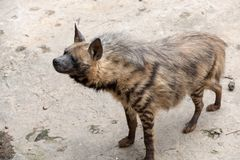 Striped hyaena. The head is 100-120 centimeters long, the shoulder height is 60-80 cm, the tail length is 25-40 centimeters, and the weight is 25-55 kilograms royalty free stock image